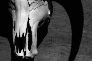 steer skull
